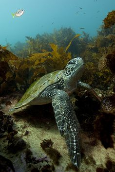 Turtle under the sea Reptiles And Amphibians, Mammals, Animals Beautiful, Cute Animals, Wild Animals, Fauna Marina, Turtle Love, Green Turtle, Turtle Bay