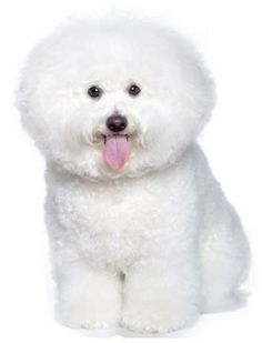 Bichon Frise:   The Bichon Frise is an incredibly cheerful little dog who loves to be the center of attention. He likes to think he runs the household, and will want to be at your heels or in your lap at all times.