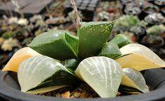 Haworthia comptoniana hybrid variegate