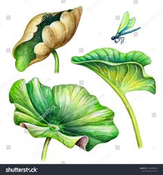 Find Watercolor Botanical Illustration Green Lotus Leaves stock images in HD and millions of other royalty-free stock photos, illustrations and vectors in the Shutterstock collection. Thousands of new, high-quality pictures added every day. Watercolor Landscape Paintings, Watercolor Flowers, Botanical Flowers, Botanical Art, Lotus Flower Pictures, Rajasthani Painting, Lotus Plant, Lotus Painting, Chinoiserie