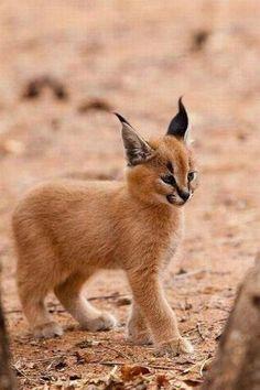Bébé lynx