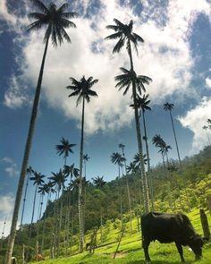 ¿Colombia tiene vacas y palmeras?