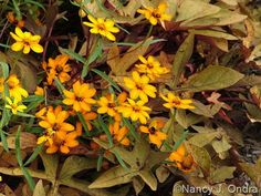 Zinnia angustifolia with Ipomoea batatas 'Sweet Caroline Bronze'; Nancy J. Ondra at Hayefield