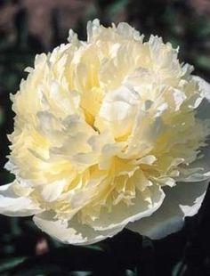 Peony 'Laura Dessert', cl austin, x 3 for C Flowers Nature, White Flowers, Beautiful Flowers, Buy Peonies, Peonies Garden, Claire Austin, Hardy Plants, White Gardens, Peony Flower