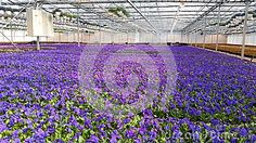Flower farming, beautiful blue flowers