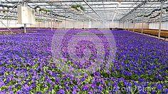 Flower farming, beautiful blue flowers