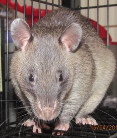 Hercules my gambian pouched rat in his cage