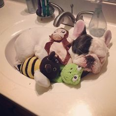 Manny the bulldog who sleeps in sinks is so freaking cute. I'm so sad this isn't my own pup! French Bulldog Full Grown, French Bulldog Facts, French Bulldogs, Pet Costumes, Kawaii, Bulldog Puppies, Puppy Love, Fur Babies, Cute Dogs