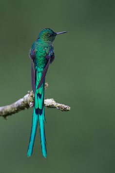 Long-tailed Sylph, male, Colombia - by BobLewis