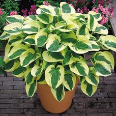 "Hosta Brim Cup - Grows to 14"" tall by 20"" wide. An attractive dwarf hosta. Heart shaped leaves with bluish-green centers and wide yellow margins."