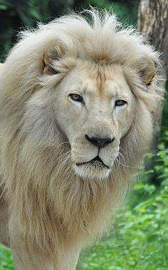 Powerful Lion Gaze by Kathy Newton   - Explore the World with Travel Nerd Nici, one Country at a Time. http://TravelNerdNici.com