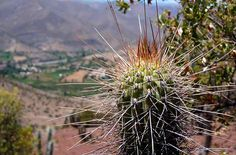 Cactus, plantas suculentas - Ovalle - Coquimbo - Chile - httpbit.ly7mYC4f
