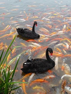 Black swans swimming with koi