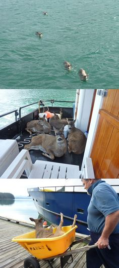 Four distressed Sitka deer swim desperately towards the Alaska Quest Charter Boat. The deer calmly recover on the deck of the boat after their near-drowning experience. One deer was still weak when they reached the shore and had to be carried off the boat.