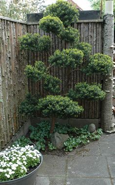 fence with pruned evergreen