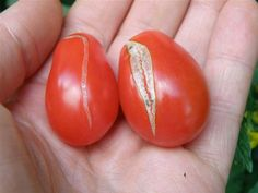 tomato quirks: split skins