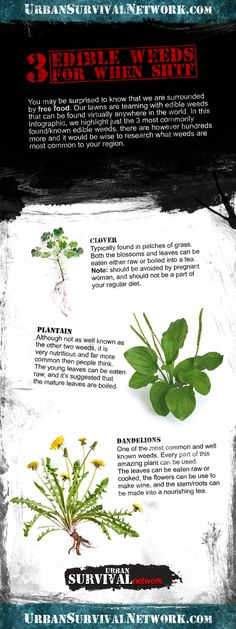 A quick guide to 3 common edible weeds that every prepper should know about. Being able to forage wild food post collapse will be essential!