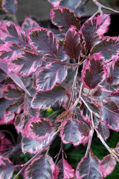 Plant the Tri Color Beech to Enjoy Pink, White and Green Leaves