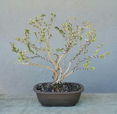 picture 4 i did some aggressive pruning on my serissa pre bonsai rh pinterest com wire ficus bonsai wire ficus bonsai