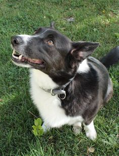 """Meet """"Eeyore"""", a purebred Borgi (border collie/corgi mix). He needs to go somewhere where there are NO children under 6 yrs old. Eeyore is a 4 year old wonderful dog, that is loyal & likes to be with people. Neutered, chipped & current on all shots. Please fill out Application on line at www.Hearts4Paws.org House trained • Spayed/Neutered  West Valley, UT 