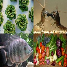 Ultimate Guide to Home Aquaponics System. This is often a wonderful solution to the hydroponic method, because you will not apply toxic chemicals on your plants throughout aquaponic gardening, hence it is possible to obtain organically produced food for your own friends and family.