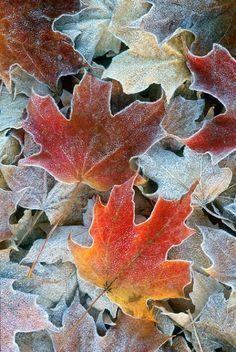 Mit Frost bedeckte Ahornblätter.