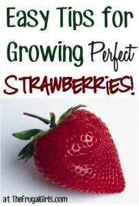 Strawberries Gardening Tips and Tricks. Also good recipes with strawberries