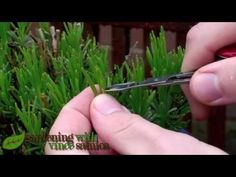 How To Prune Lavender Plant To Promote More Flowers - I Love Herbalism