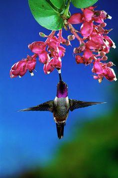 Magenta-throated Woodstar Hummingbird - ©Michael & Patricia Fogden (via FineArtAmerica)