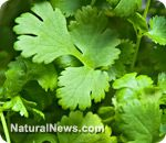 Detoxify heavy metals and soothe chronic inflammation with cilantro, a powerful 'superherb'