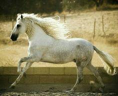 Pura Raza Española stallion. photo: Marta Nowakowska