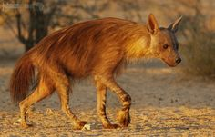 The elusive Brown Hyaena - The southern Kalahari is the ideal habitat for the brown hyaena and they are the most common of the larger carnivores of the Kalahari, but they are elusive creatures, not often seen.  The elusive Brown Hyaena – Kgalagadi Transfrontier Park - Northern Cape - South Africa
