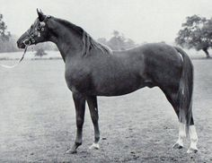 Grand Royal 1947 ch.s. Oran x Sharima by Shareer 5 lines to Mesaoud 4 to Astraled