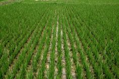 AR produces a little over 45% of the rice grown in the US.