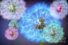 Google Image Result for http://images.fineartamerica.com/images-medium-large/delightful-dandelions-donald-davis.jpg