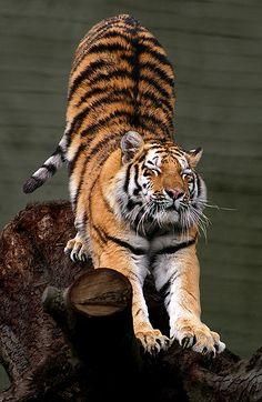 In aumento la popolazione della tigre dell'Amur, maestoso felino che vive nella taiga dell'estremo oriente russo. | S.O.S. Regno Animale