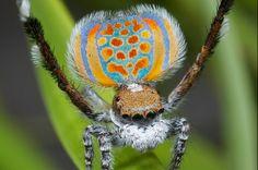New Species Of Peacock Spider Described