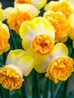 Daffodil Art Perfume