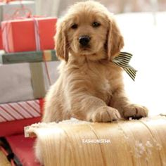 lovely #Golden puppy