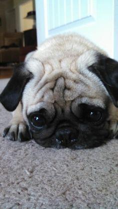 My sweet Fonzie pug!