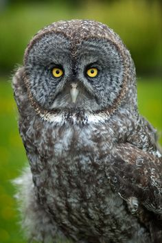 Great grey owl or great gray owl (Strix nebulosa) is a very large owl, documented as the world's largest species of owl by length