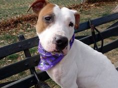 SUPER URGENT! Manhattan Center ~ZEUS  A0983096 MALE  WHITE / TAN  PIT BULL MIX 1 yr STRAY 10/24/13 - Zeus was emaciated w/ every rib showing, his hip bones jutting out. They are feeding him an extra meal daily to help him gain some weight. He has callouses on his pressure points,  sweet demeanor & shy personality. Lovely leash manners, housetrained, lived w/ & likes to play w/ dogs. Zeus knows what love is & wants it again. What a joy it will be to bring this boy home and watch him bloom.