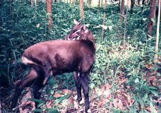 Saola: The Endangered Asian Unicorn: Commonly referred to as the Asian unicorn, the saola has rarely been seen alive since its discovery and so is already considered critically endangered.
