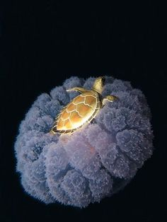 A golden turtle rides a jellyfish