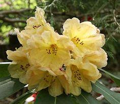 Rhododendron 'Golden Wedding'