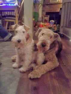 Abbot the Airedale & Reuben the wire hair Fox terrier. Two real beauties.