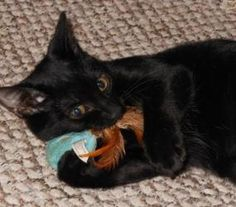 What-A-Melon is an adoptable Domestic Short Hair Cat in Cumming, GA. I'm What-a Melon, a cute, petite black female DSH born around 02/22/12. I live with a loving foster family and my brother, Blue Raz...