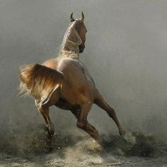 Arabian Horse Photos    photographer unkown  Art & Design  by Tom McGuire