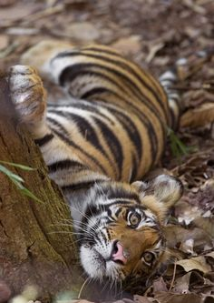 an-imalss:  Bengal Tiger (Panthera tigris tigris) cub leaning against tree, Bandhavgarh National Park, Madhya Pradesh, India by Vivel Sharma