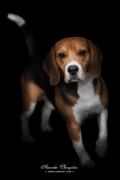 Portrait of beagle puppy isolated on black background